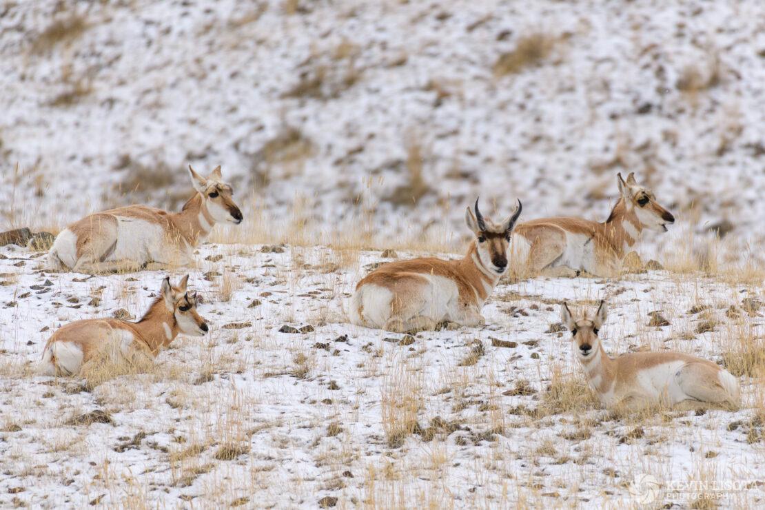 Pronghorn herd