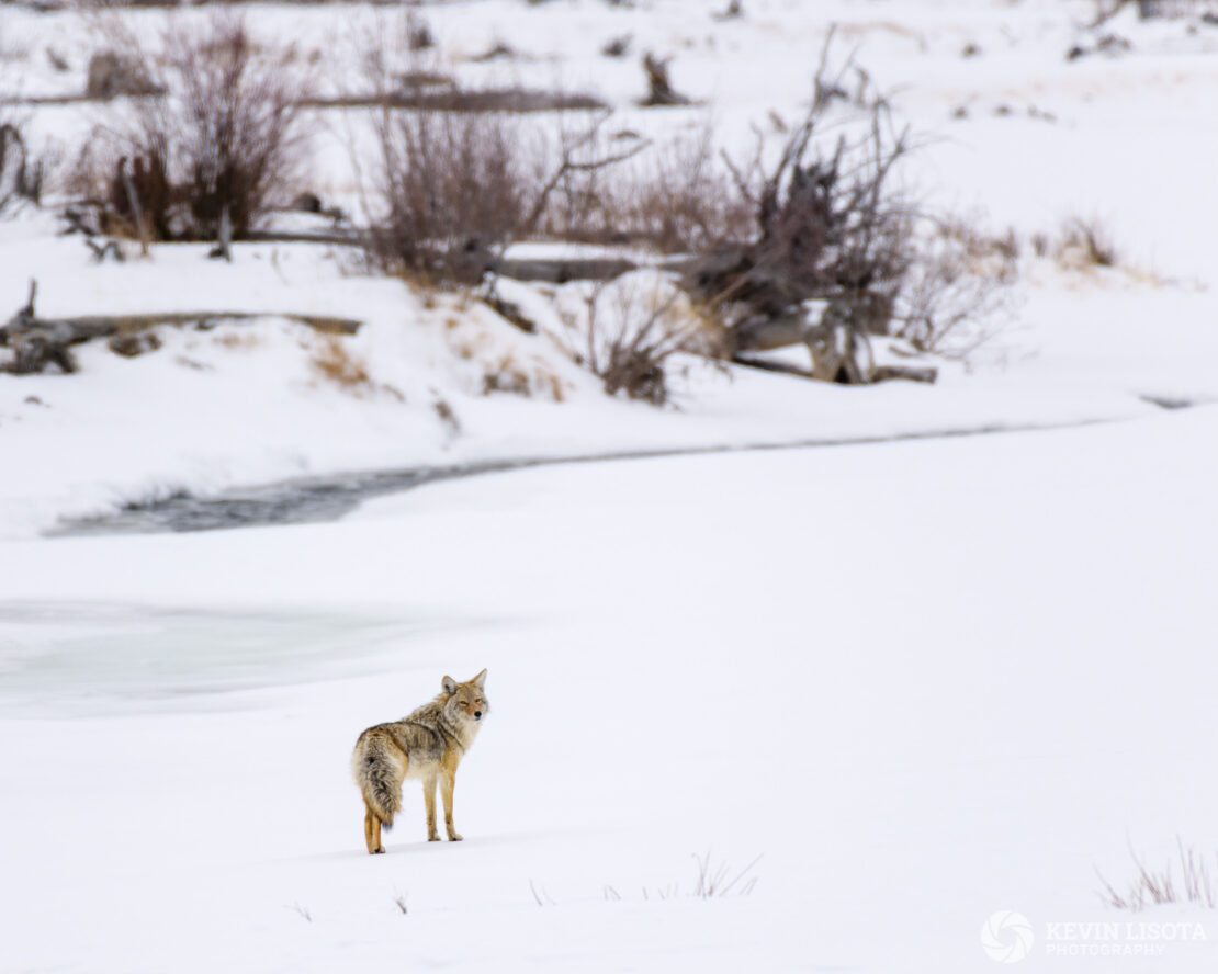 Coyote in front of Lamar River
