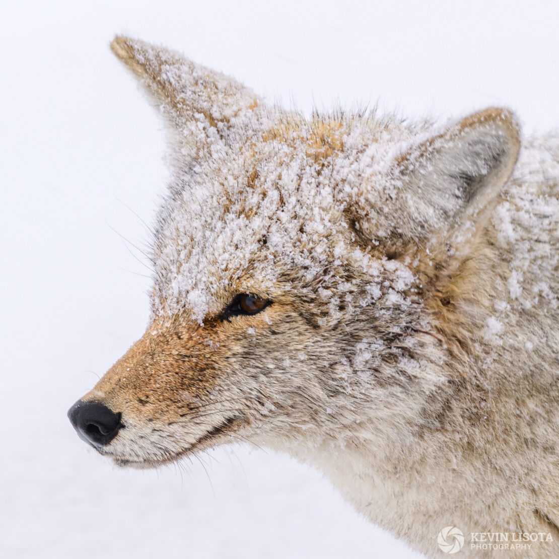 Snow-covered coyote