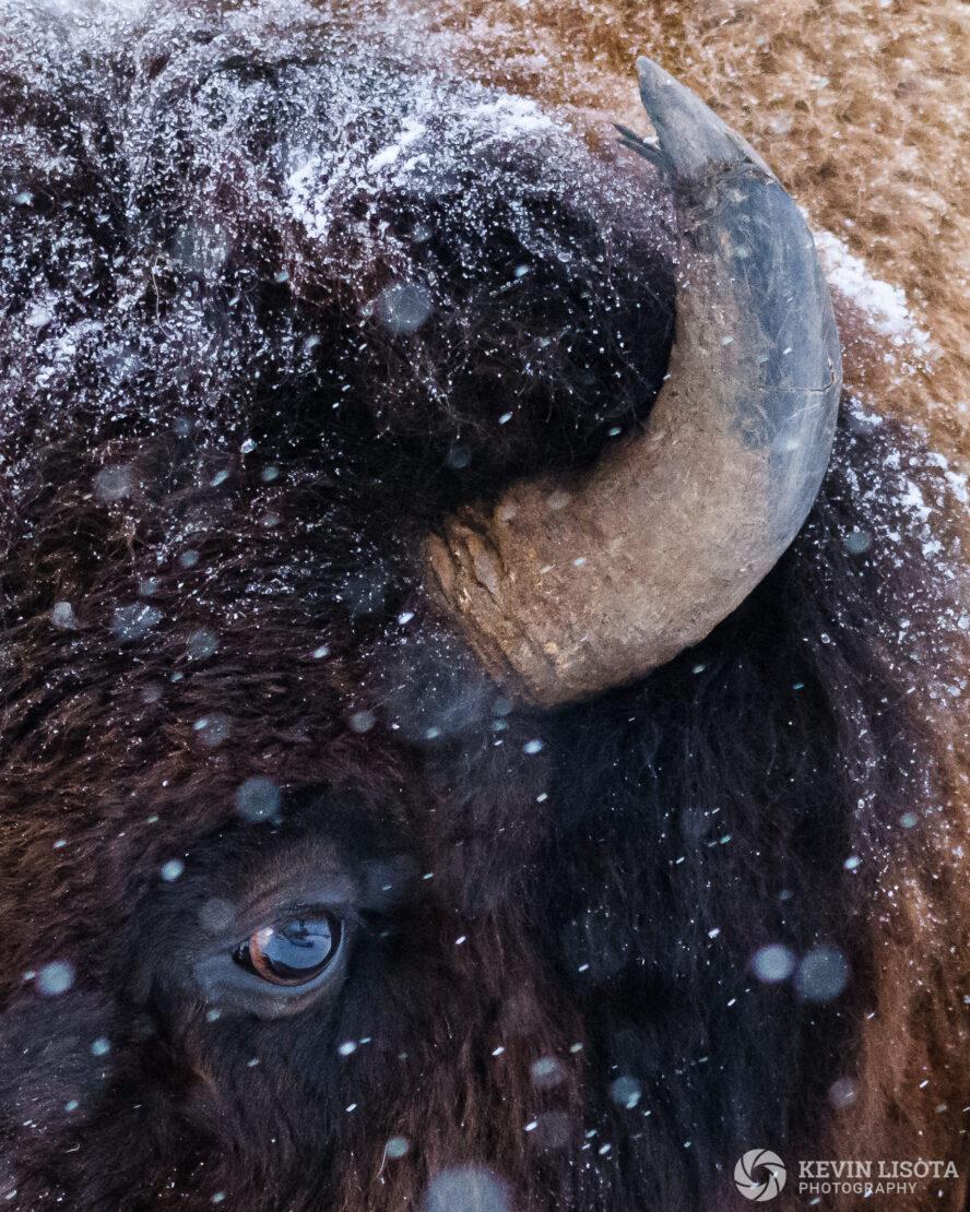 Snowy bison eye & horn