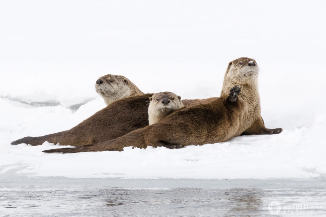 River otters at Lamar River in winter