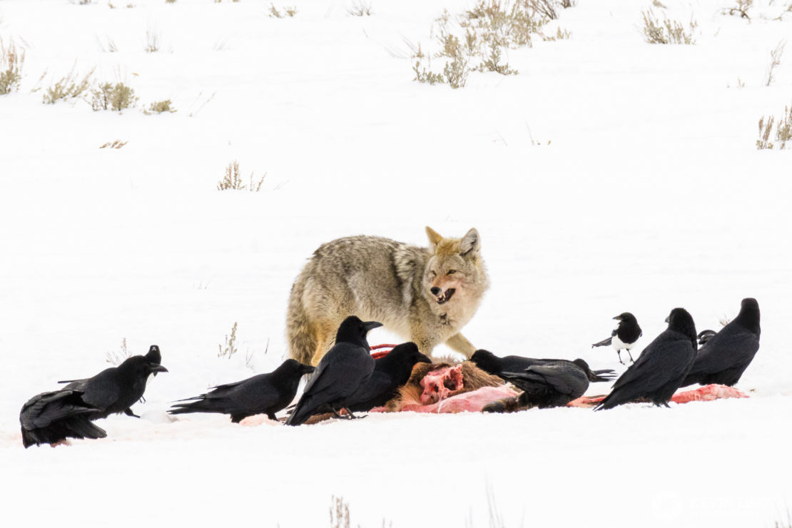 Coyote, ravens & magpies feed on carcass