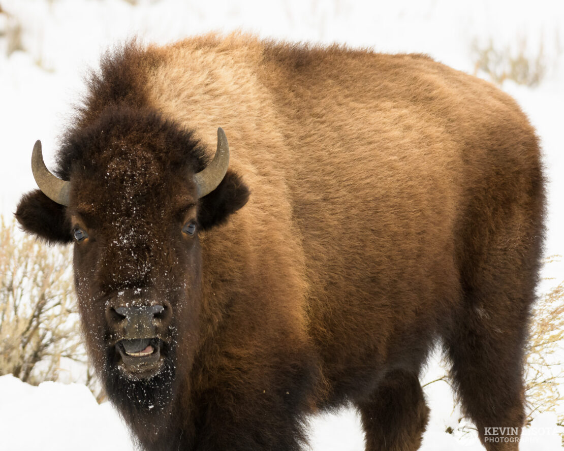 Bison with a funny expression