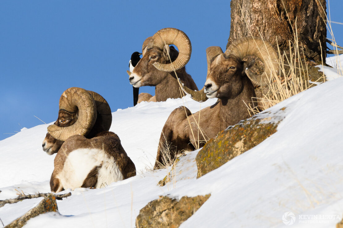 Bighorn sheep rest on a ledge with magpie