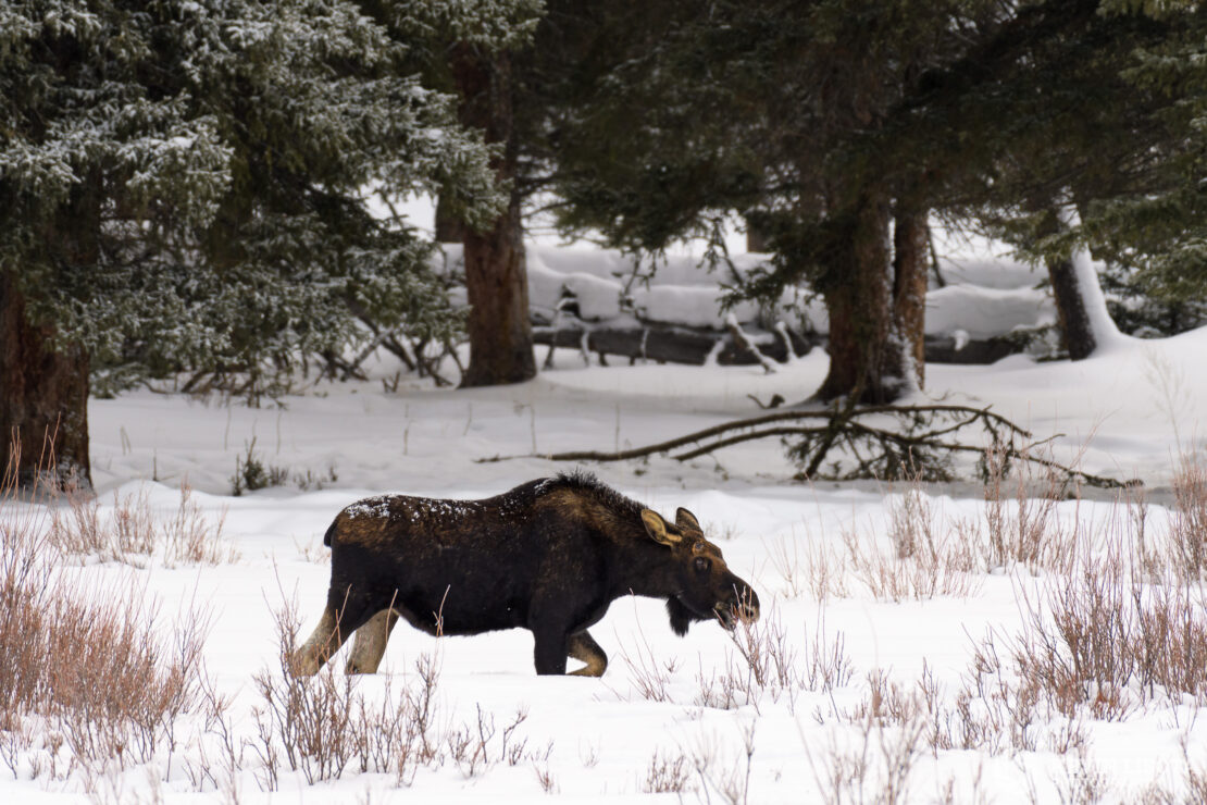 Bull moose feeds on willows in Lamar Valley