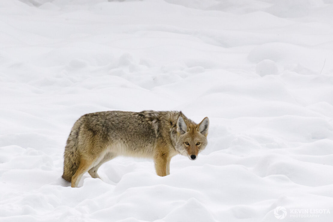 Coyote in snow near Madison Junction in Yellowstone