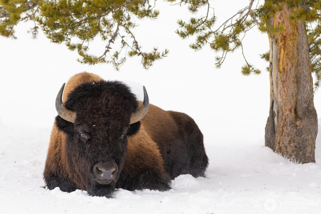 Bison lounging under tree in winter