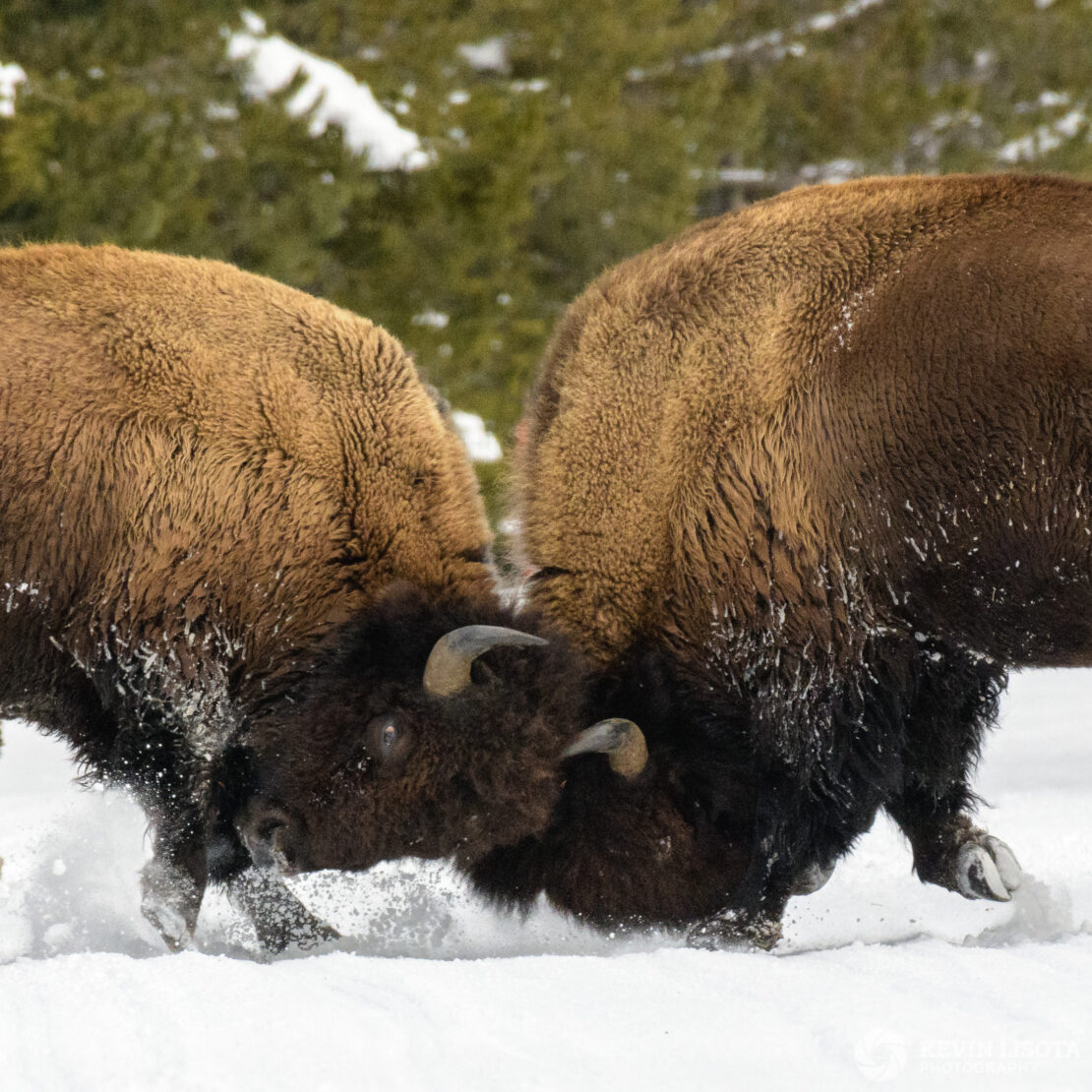 Two bison tussle in the snow