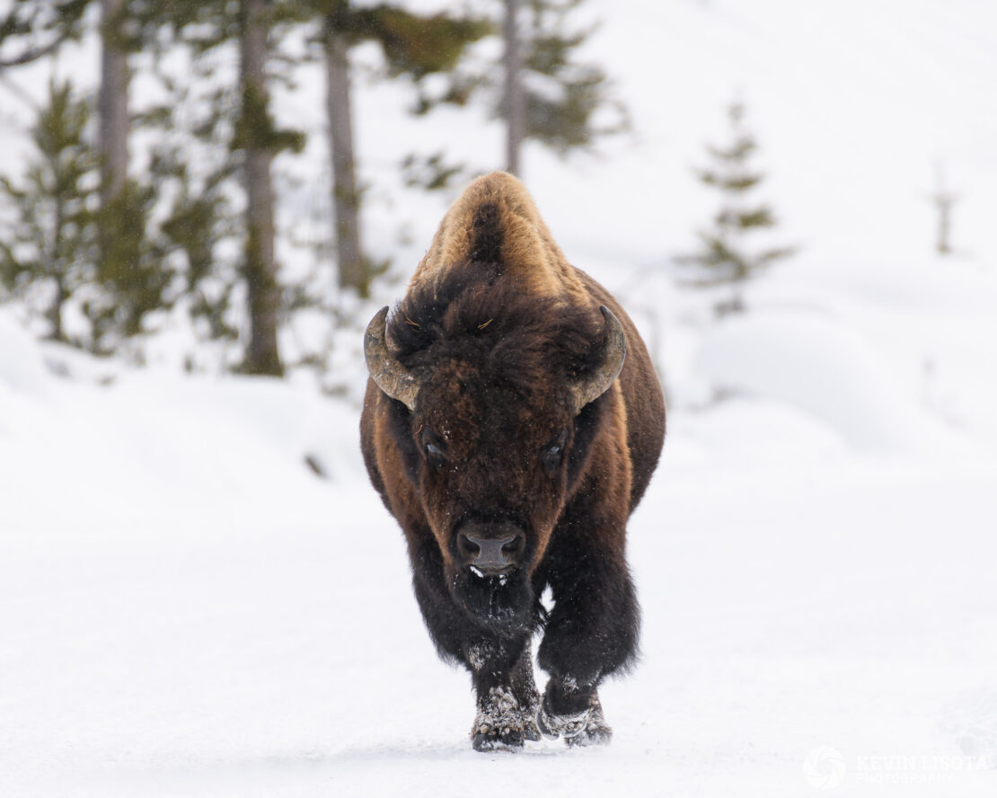Bison walking down snowy road