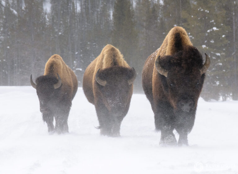 Three bison in blowing snow