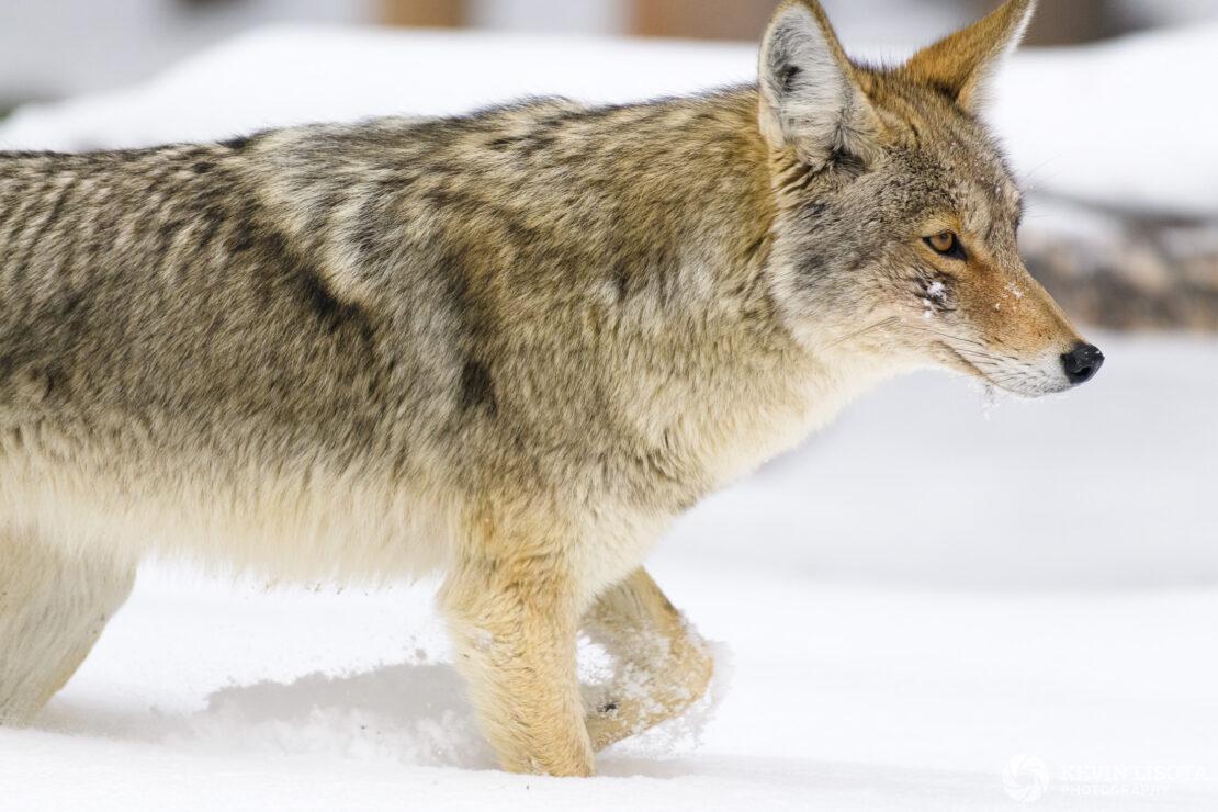 Coyote walking in snow near Yellowstone Lake