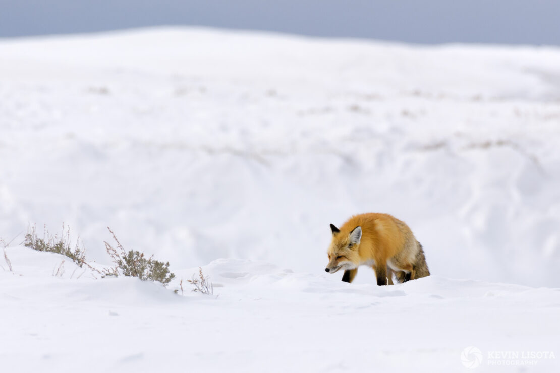 Red fox hunting in snow near Yellowstone River