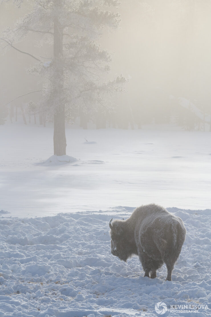 Frosty bison in the mist of Yellowstone's geysers