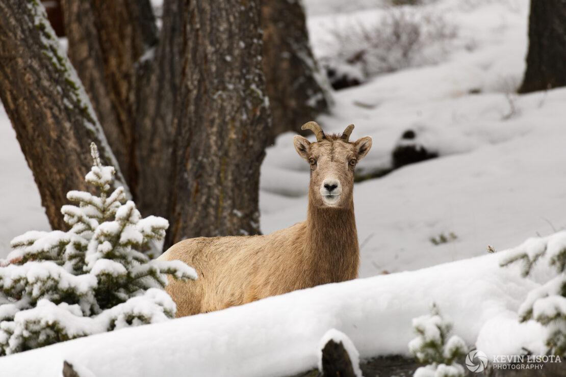 Bighorn sheep ewe in winter