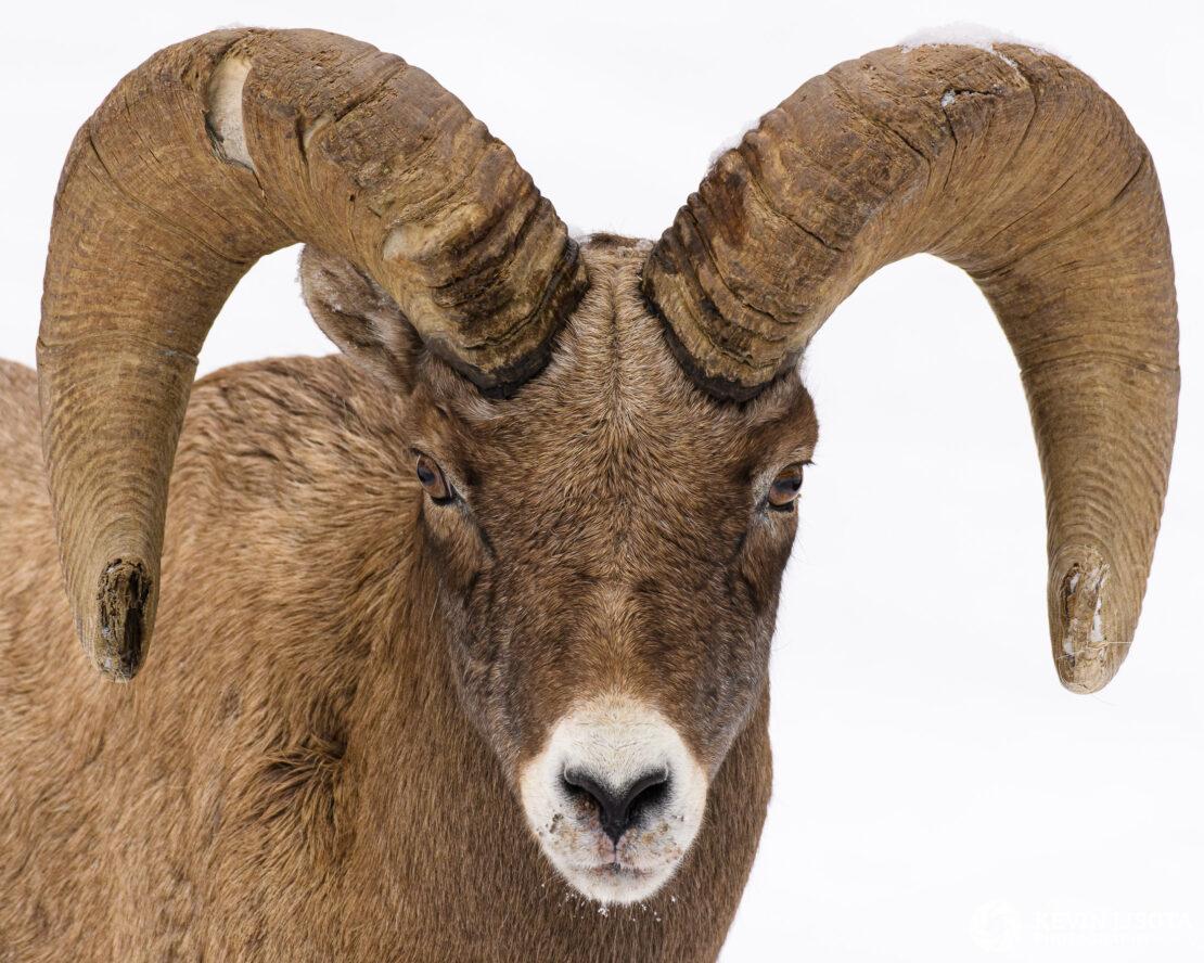 Bighorn sheep ram in winter