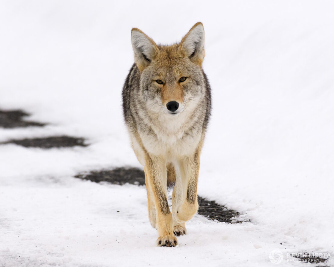 Coyote walking on snowy road in Yellowstone