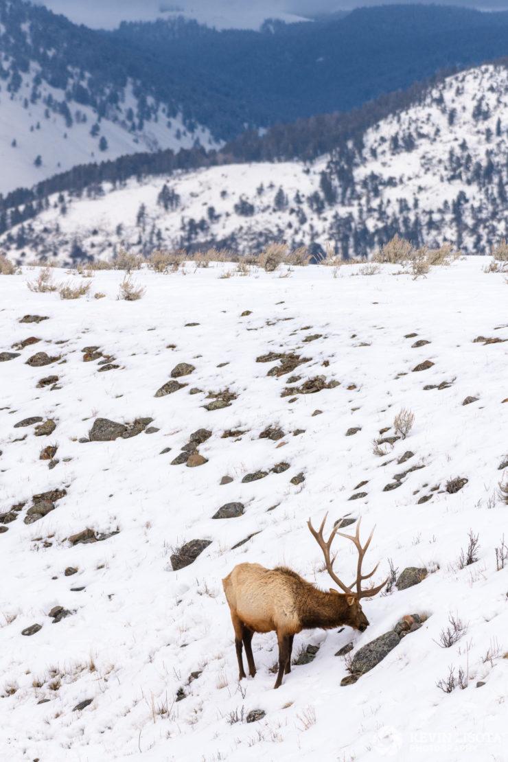 Bull elk feeding on grass in Yellowstone