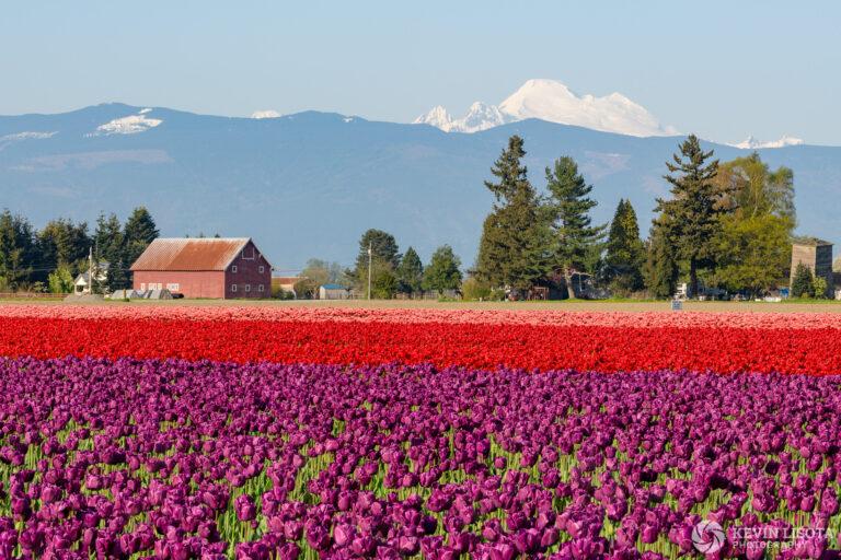 Skagit Valley Tulip Festival 2018
