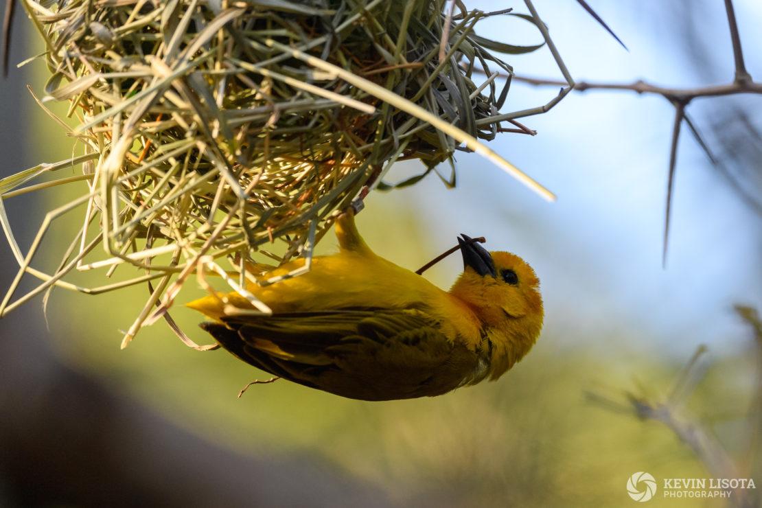 Weavers - Woodland Park Zoo