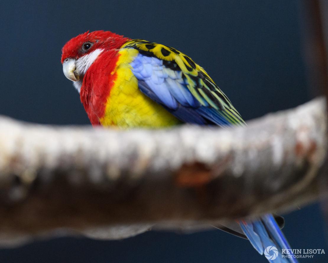 Eastern rosella - Woodland Park Zoo