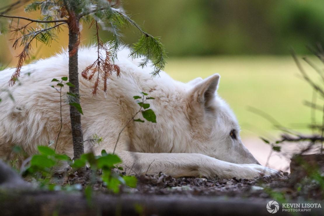 Gray Wolf - Woodland Park Zoo