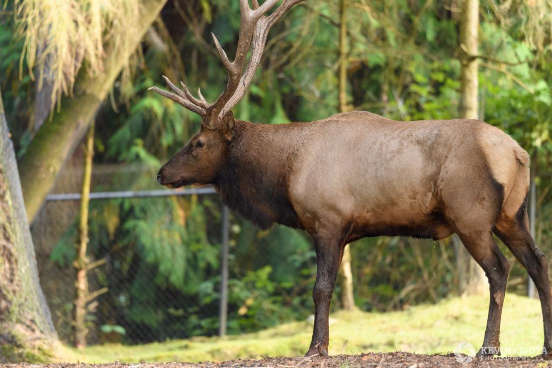 Elk - Woodland Park Zoo