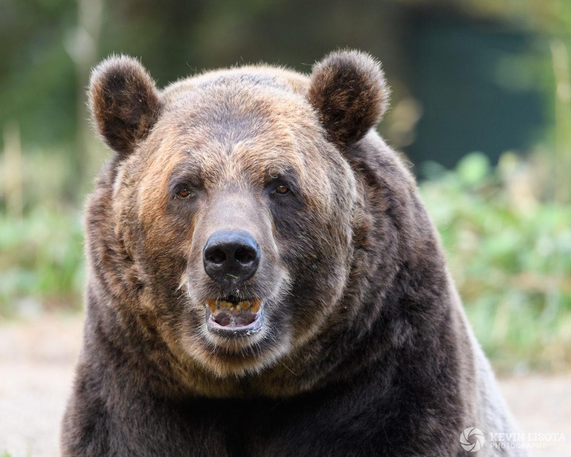 Brown Bear - Woodland Park Zoo