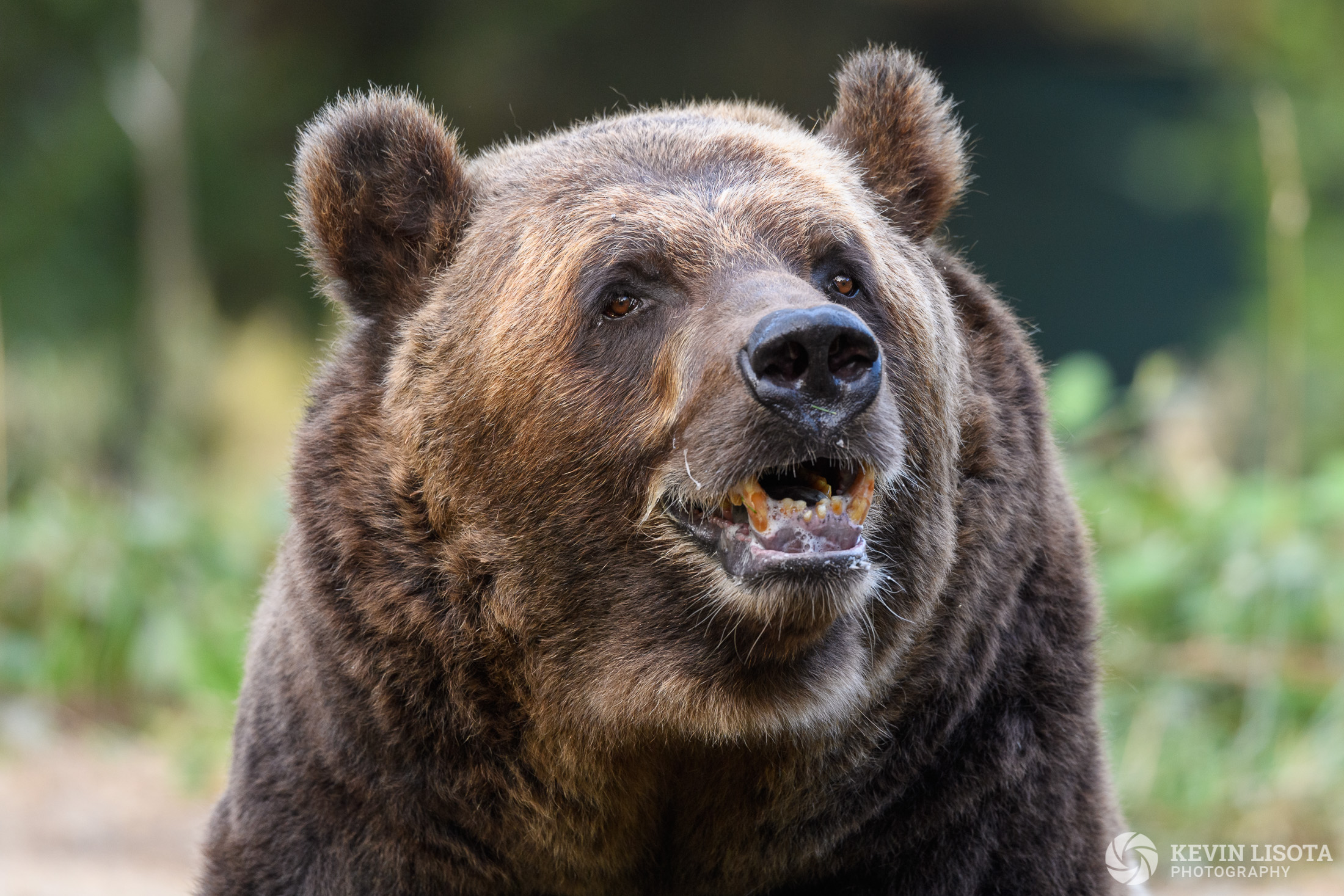Brown Bear - Woodland Park Zoo
