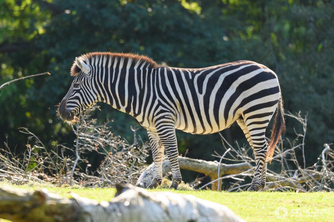 Zebra - Woodland Park Zoo