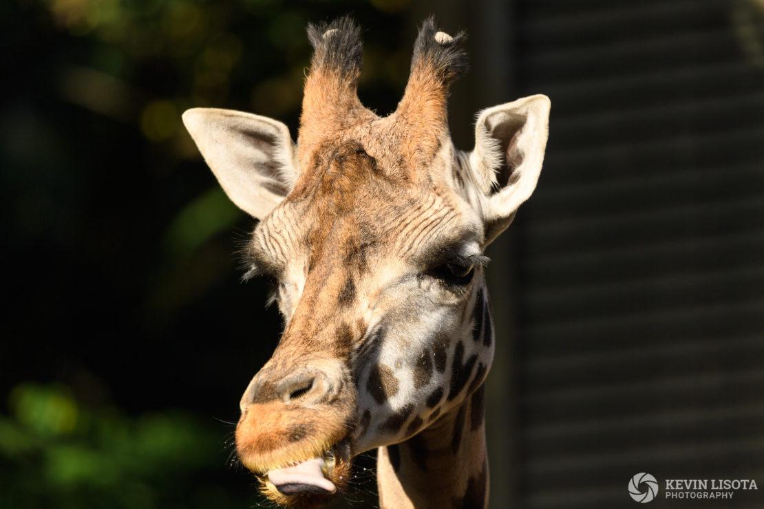 Giraffe - Woodland Park Zoo