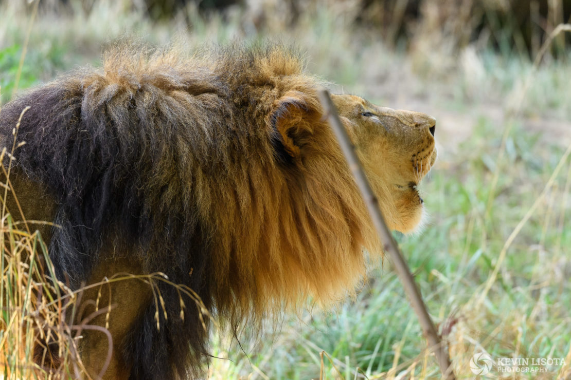African Lion - Woodland Park Zoo