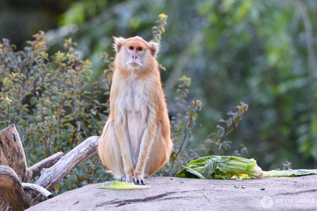 Patas Monkey - Woodland Park Zoo