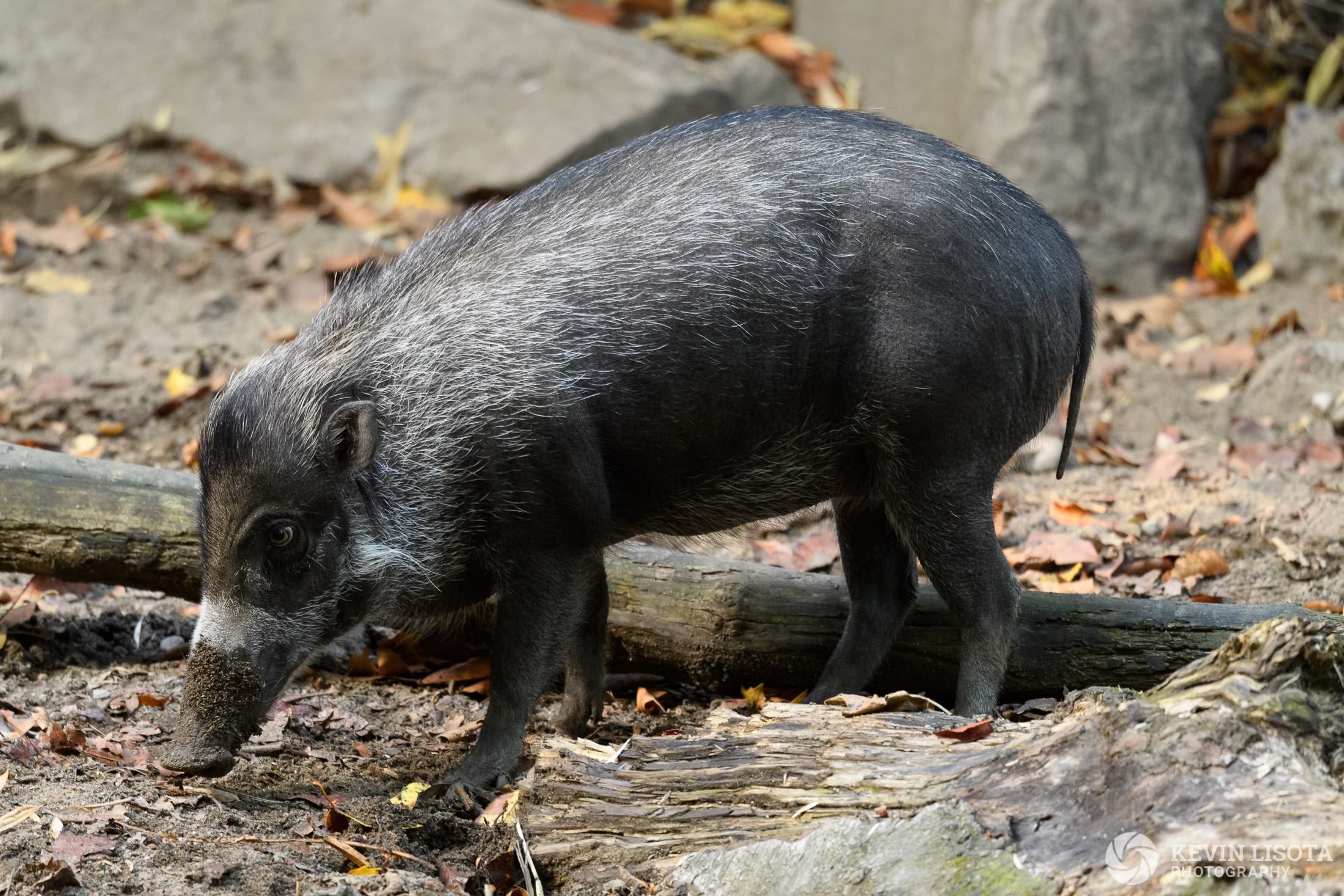 Warty Pig - Woodland Park Zoo