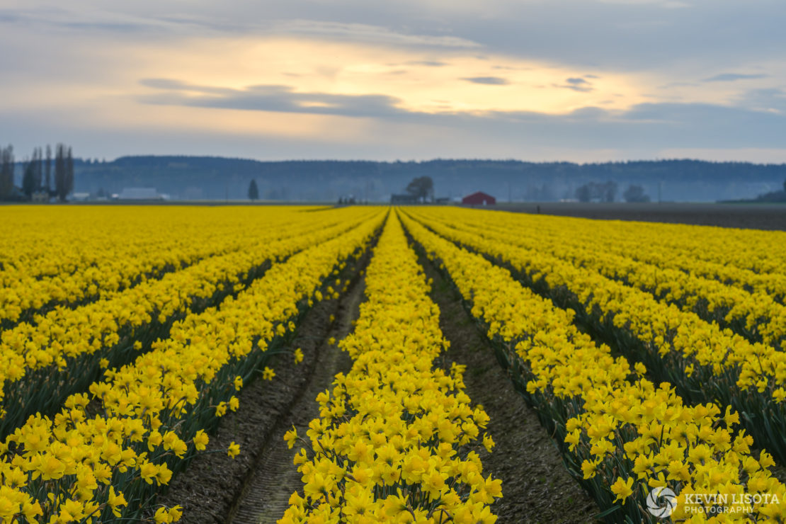 Daffodils at the Skagit Valley Tulp Festival 2019