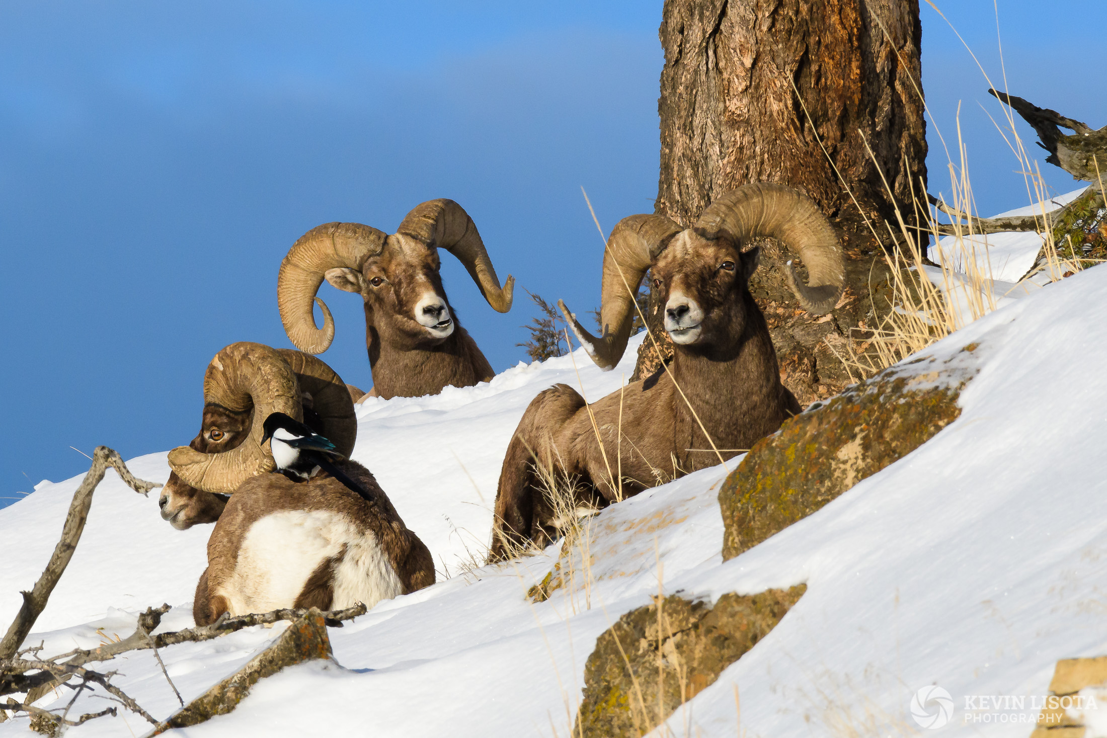 Bighorn sheep rest on a ledge with magpie in Lamar Valley