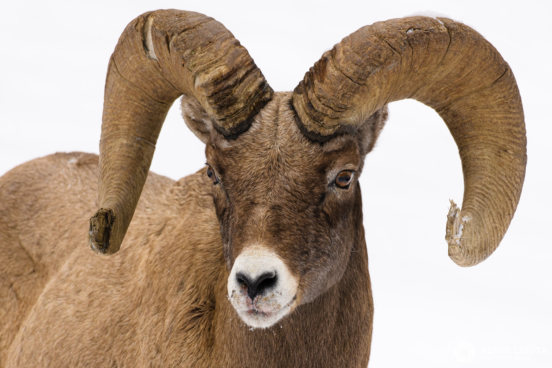 Bighorn sheep ram in winter