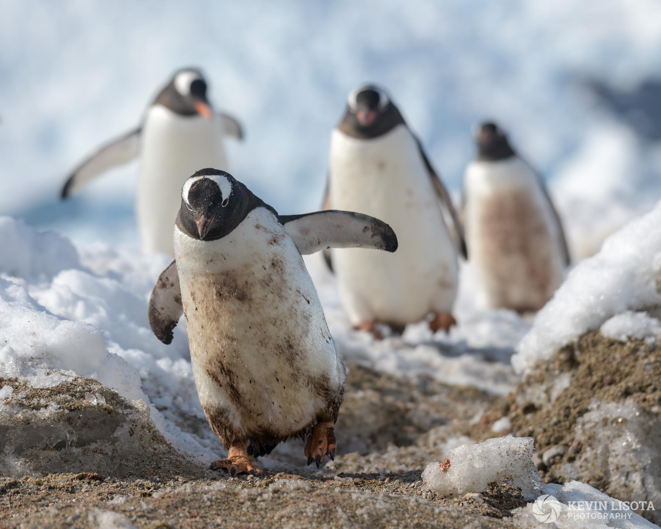 Gentoo Penguins - Neko Harbour, Antarctica