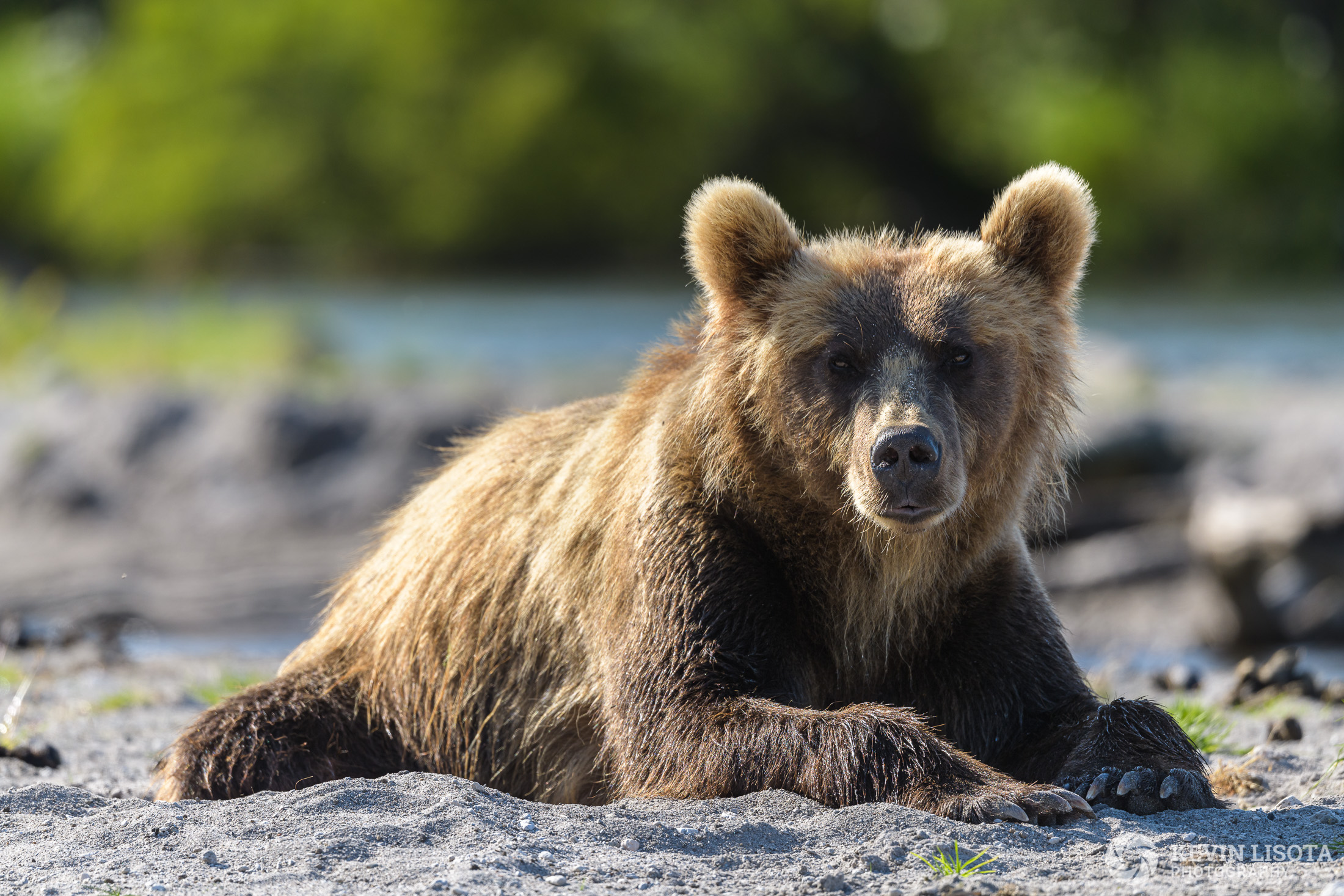 Brown bear resting at Kurile Lake in Kamchatka, Russia.