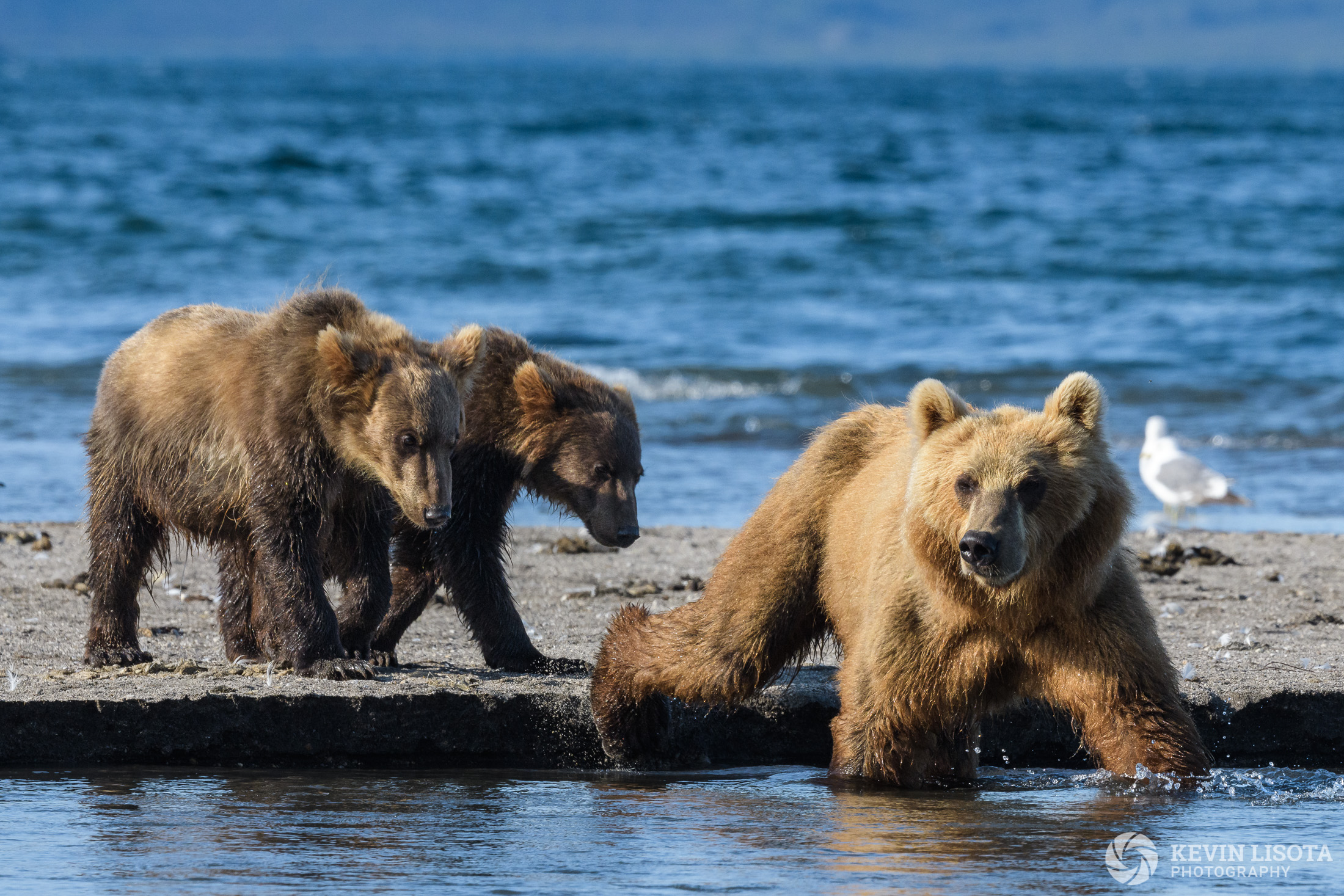 Brown bear sow & cubs at Kurile Lake in Kamchatka, Russia.