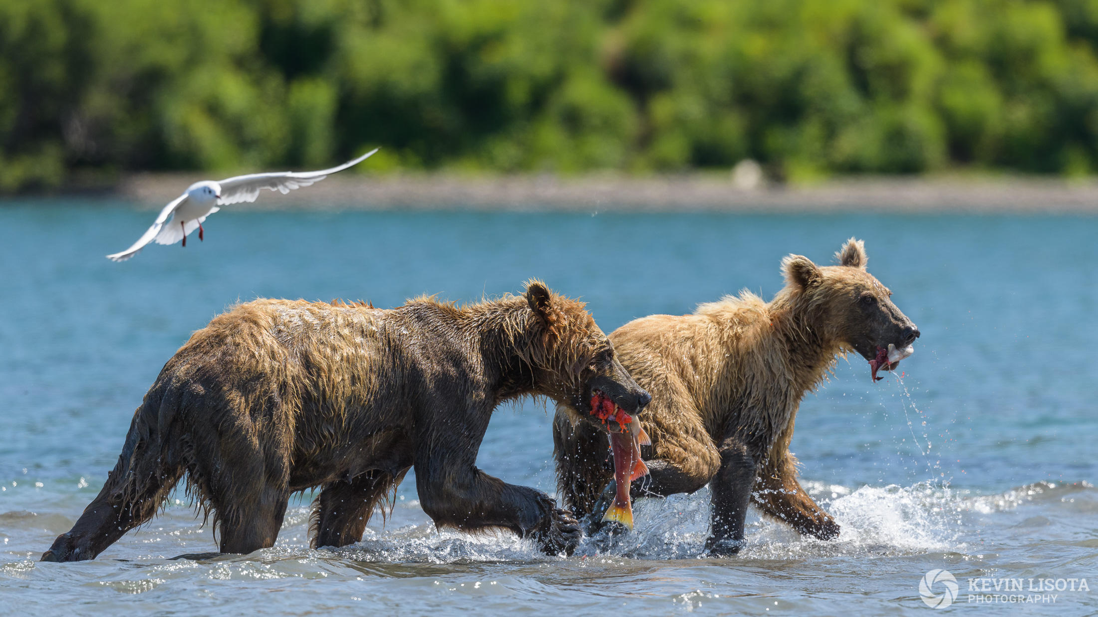 Brown bears feeding on sockeye salmon at Kurile Lake in Kamchatka, Russia.
