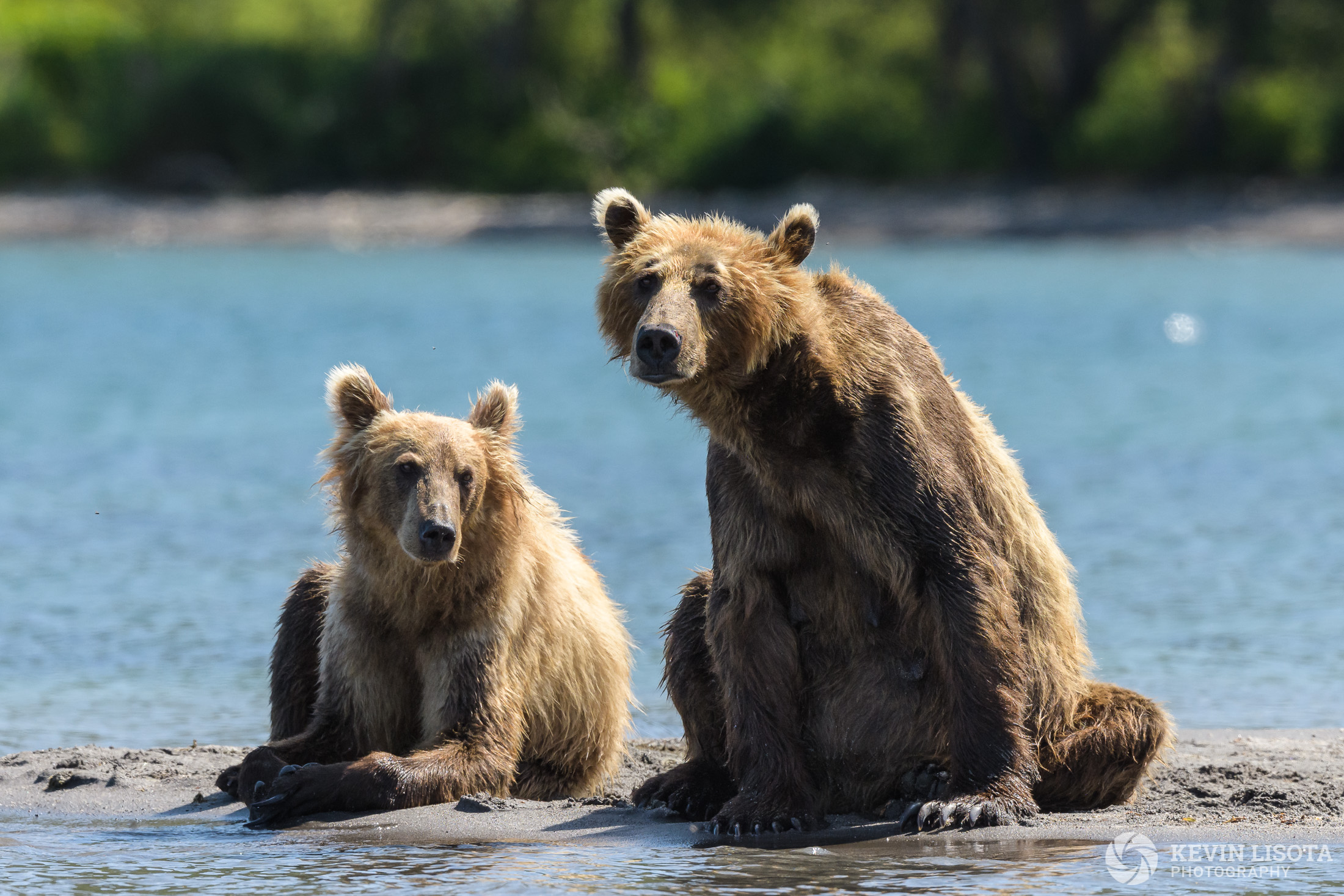 Brown bears at Kurile Lake in Kamchatka, Russia.